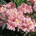 Rhododendron Juniduft 30-40cm - Rhododendron viscosum - Vorschau