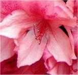 Rhododendron Millenium 40-50cm - Rhododendron viscosum - Vorschau