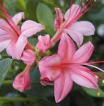 Rhododendron Pink and Sweet 40-50cm - Rhododendron viscosum - Vorschau