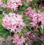 Rhododendron Ribbon Candy 40-50cm - Rhododendron viscosum - Vorschau