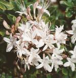 Rhododendron Sommerduft 25-30cm - Rhododendron viscosum - Vorschau