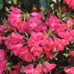 Rhododendron Lissabon 50-60cm - Rhododendron williamsianum - Vorschau
