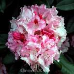 Rhododendron Ballkönigin 40-50cm - Rhododendron williamsianum