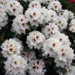Rhododendron Bohlkens Snow Fire® 30-40cm - Rhododendron williamsianum