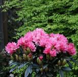 Rhododendron Clivia 40-50cm - Rhododendron williamsianum