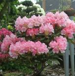 Rhododendron Loreley 20-25cm - Rhododendron yakushimanum