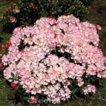 Rhododendron Love Song 25-30cm - Alpenrose - Vorschau