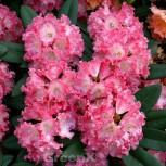 Rhododendron Maifreude 30-40cm - Rhododendron yakushimanum - Vorschau