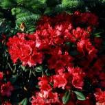 Rhododendron Titan Beauty 25-30cm - Alpenrose - Vorschau