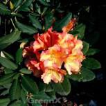 Rhododendron Valencia 50-60cm - Rhododendron yakushimanum - Vorschau