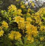 Azalee Anneke 30-40cm - Rhododendron luteum - Alpenrose