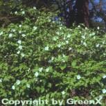 Scheinkerrie 100-125cm - Rhodotypos scandens