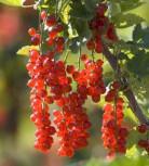 Rote Johannisbeere Rosetta 60-80cm - Ribes rubrum - Vorschau
