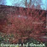 Blut Zierjohannisbeere King Edward VII 100-125cm - Ribes sanguineum - Vorschau