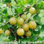 Stachelbeere weiß - Ribes uva-crispa - Vorschau