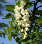 Korkenzieher-Robinie 80-100cm - Robinia pseudoacacia - Vorschau
