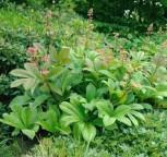 Fiederblättriges Schaublatt - Rodgersia pinnata - Vorschau