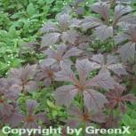 Gestieltblättriges Schaublatt Rotlaub - Rodgersia podophylla - Vorschau