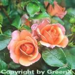 Floribundarose Aprikola® 30-60cm