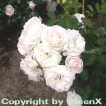 Hochstamm Rose Aspirin Rose® 40-60cm - Vorschau
