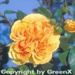 Floribundarose Bernstein Rose 30-60cm