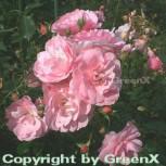Hochstamm Rose Bonica® 40-60cm - Vorschau