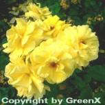 Hochstamm Rose Frisia® 60-80cm - Vorschau