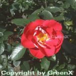 Floribundarose Heimatmelodie 30-60cm