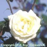 Floribundarose La Paloma® 30-60cm