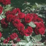 Floribundarose Lavaglut® 30-60cm - Vorschau
