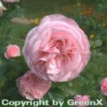 Hochstamm Rose Mariatheresia® 80-100cm