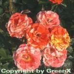 Floribundarose Papagena 30-60cm