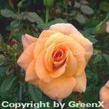 Floribundarose Peachekeeper® 30-60cm - Vorschau