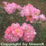 Strauchrose Romanze® 30-60cm
