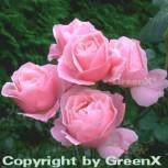 Floribundarose Queen Elisabeth 30-60cm