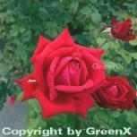 Hochstamm Rose Burgund 81 80-100cm