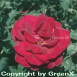 Hochstamm Rose Duftzauber 84 80-100cm