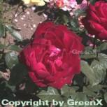 Edelrose Grande Amore® 30-60cm
