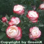 Hochstamm Rose Nostalgie 80-100cm - Vorschau