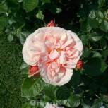 Hochstamm Rose Aphrodite® 80-100cm