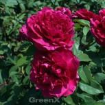 Hochstamm Rose Ascot® 80-100cm - Vorschau