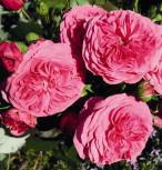 Hochstamm Rose Baronesse® 80-100cm - Tantau Rose - Vorschau