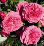 Nostalgierose Baronesse® - Tantau Rose - Vorschau