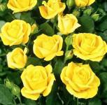 Floribundarose Bayerngold® 30-60cm - Tantau Rose - Vorschau