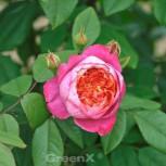 Englische Rose Benjamin Britten® 30-60cm