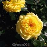 Floribundarose China Girl 30-60cm
