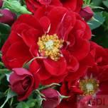 Hochstamm Rose Fairy Dance 60-80cm - Vorschau