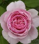 Englische Rose Geoff Hamilton® 30-60cm - Vorschau