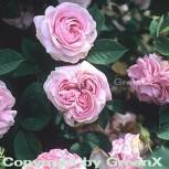 Historische Rose Königin von Dänemark 30-60cm