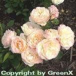 Hochstamm Rose Pastella® 60-80cm